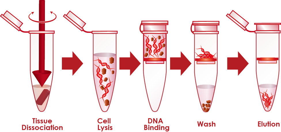 is more dna extracted from a Indeed, lysis is the most critical step to ensure a suitable and successful dna  recovery this step is essential in all dna extraction methods the biggest.